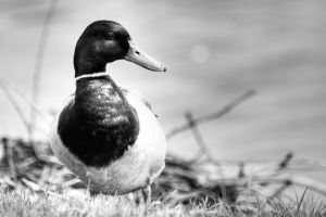 duck by Tschisi