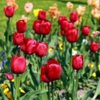 Tulips by l-CoRaLiNe-l