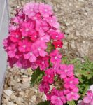 Pink Flowers by cazcastalla
