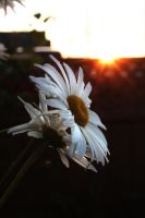 Daisy by kmwphotography