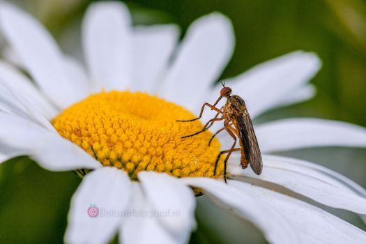 Macroworld of a Daisy.....I'''' by Betuwefotograaf