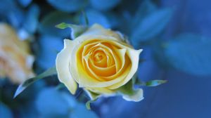 Yellow Rose : 2 by oh-juliet