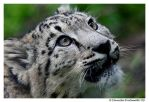 Baby Snow Leopard: Wonder by TVD-Photography