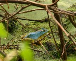Bull Frog gone Blue by natureguy