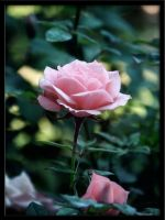 pink rose by TK310
