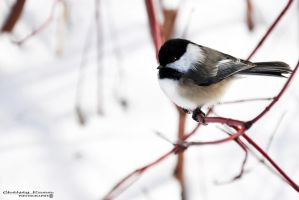 Black-capped Chickadee IV by Chaotic-Chelly