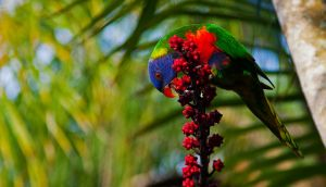 Rainbow Lorikeet by B-LightPhotography