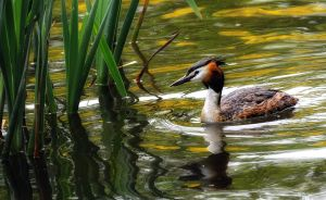 The Great Crested Grebe by wildbunchz