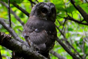 wise owl by BCMountainClimber