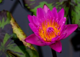 Water Lily 5 by GreyVolk