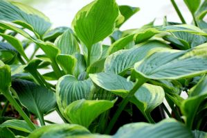 Hosta IV by Nitersss