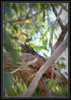 Tawny Frog mouth nesting 2 by Purple-Dragonfly-Art