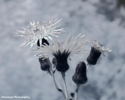 Hawkweed Infrared (IR) Close-Up by Okavanga