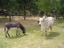 Donkey and Bull Stock by MiambieAsh-Stock