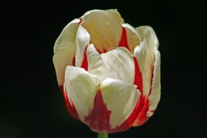 Red and White Tulip by Sic-Vita-Est