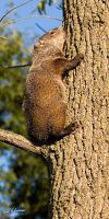 WoodChuck up a tree by DGAnder