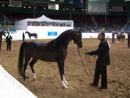 US Nationals - Halter 22 by Nyaorestock