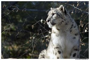 Snow Leopard II by TVD-Photography
