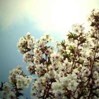 Blossom by illusionality