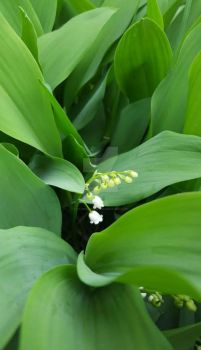 Lily of the Valley by ravenaudron