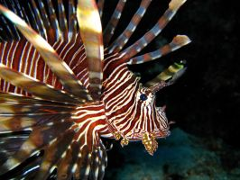 lion fish by Melissa-sama