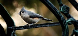 Titmouse by leanija
