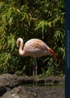 Flamingo 01 by kuschelirmel-stock