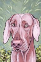 Weimaraner Dog by Ahkahna