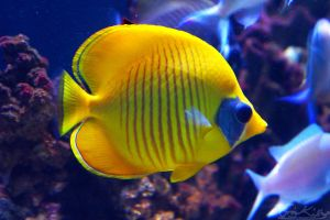 Yellow Butterfly Fish by JKase911