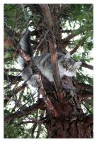Snowshoe stuck in a tree by humminggirl