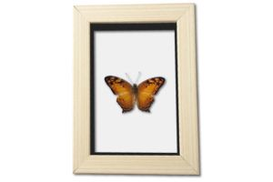 Real Little Orange Butterfly Frame by TheButterflyBabe