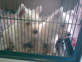 Puppies at the pet shop by animal-lover-247