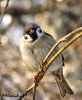Sparrow by Alexandru-MM