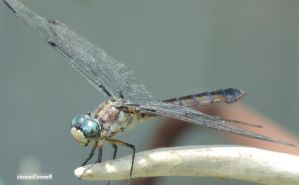 Dragonfly no.2 by chained2stone