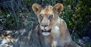 Resting Lioness by luethy