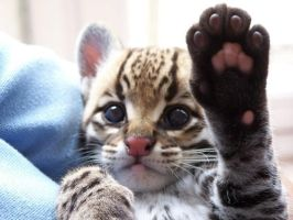 The Baby Ocelot from Zoo by ilovelost456