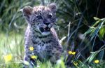 Snow Leopard Cub 05 by crhino