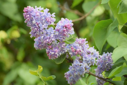 Soft Lilacs by Kumir123