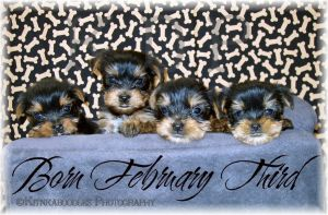 Yorkie Puppies Gang by kitnkaboodles