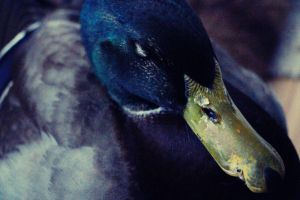 Night Night Ducky by kedralynn