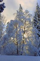 Sunny Snow Trees by rockmashane