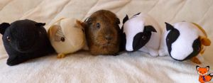 Commission Guinea Plushies A.K.A. Lily's Friends by Crafty-lil-vixen