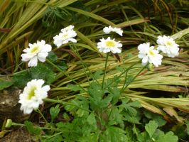 Feverfew in the Front Garden by SrTw