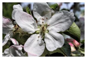 Apple flowers by NOS2002