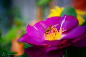 Bee on rose by Moonbird9