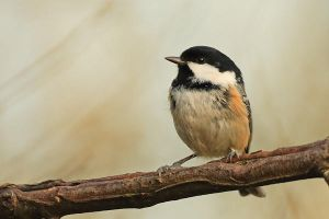 Coal Tit by nitsch