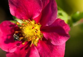 Strawberry Flower And Little Bee by agaillard