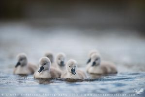 Cygnets by linneaphoto