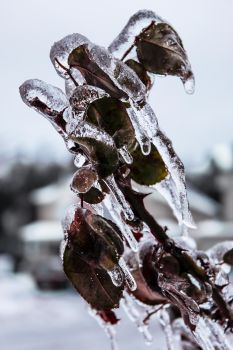 Frozen Rose Bush by TimeWillDefineUs