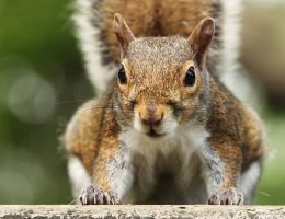 Gray Squirrel by AlinaKurbiel